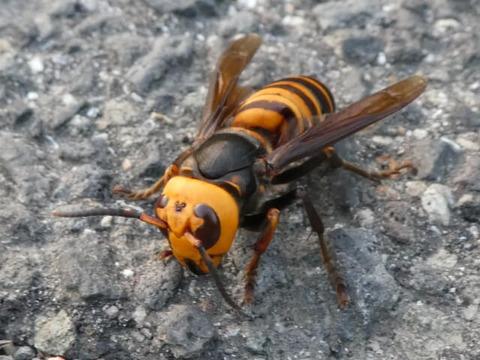 アスファルト上のスズメバチ