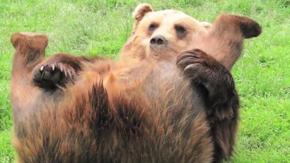 お尻を見せるヒグマ
