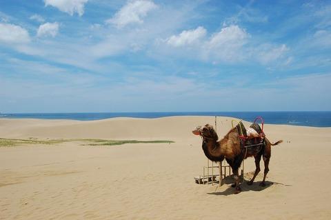 1280px-Tottori_sanddunes_camel