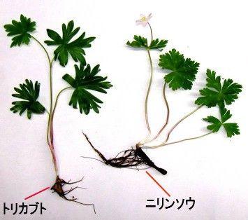 トリカブトとニリンソウの根
