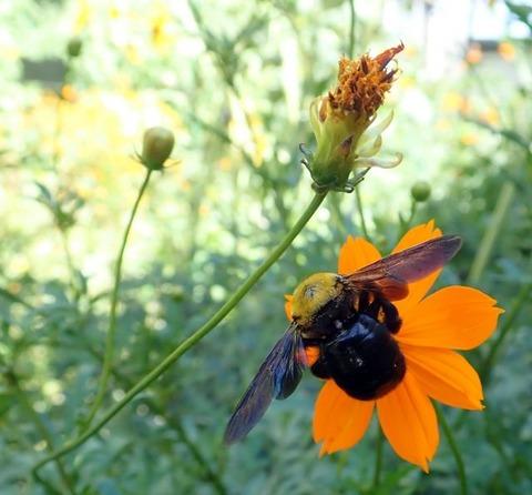 蜜を吸うクマバチ