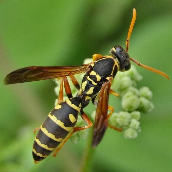 フタモンアシナガバチ (1)