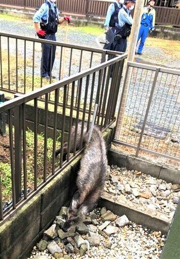 民家のフェンスに挟まったニホンカモシカ (1)