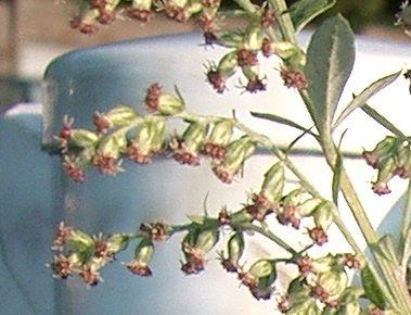 ヨモギの花