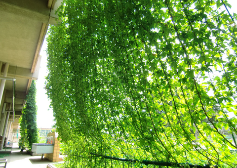 greencurtain
