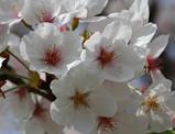 【吉岡】桜
