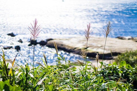 japanese-silver-grass-1896700_960_720