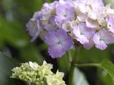 紫陽花0613
