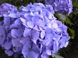 紫陽花0625