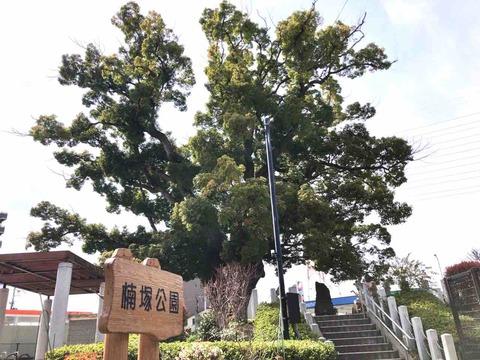 大阪府堺市北区 金岡神社御旅所・楠塚公園のでっかい楠