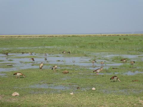 アンボセリ国立公園 (44) アフリカガン