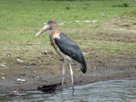 ナイバシャ湖 (110) アフリカハゲコウ