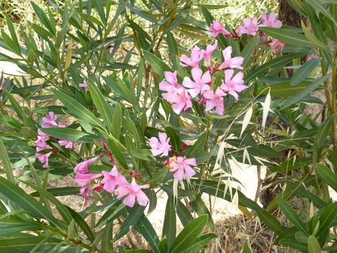 ⑤ヴォルビリスの花