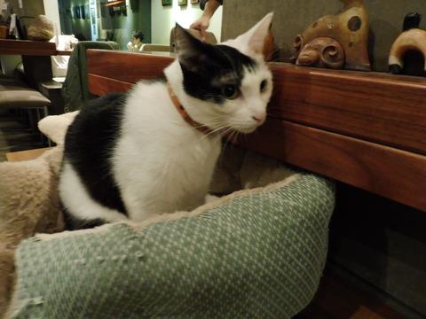 猫カフェ 極簡 (12)