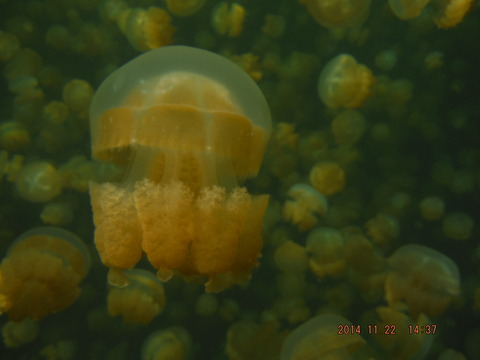 jellyfish lake4