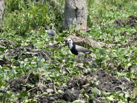 ナイバシャ湖 (88) ツメバゲリ