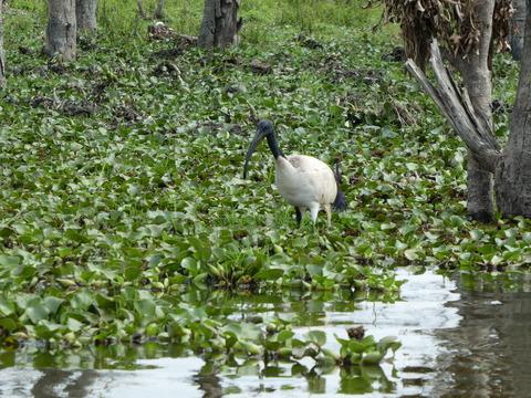 ナイバシャ湖 (81) アフリカクロトキ