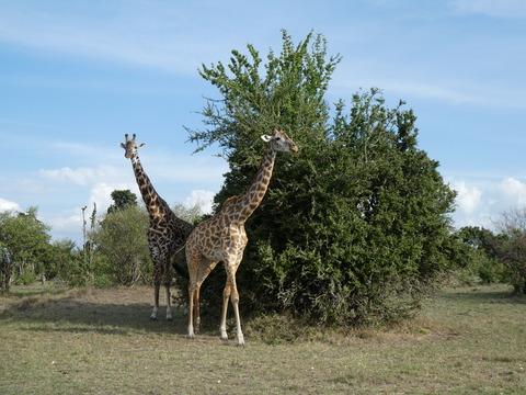 マサイマラ国立保護区 (28)