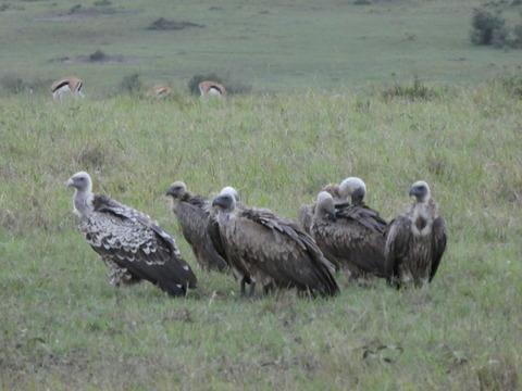 マサイマラ国立保護区 (24)