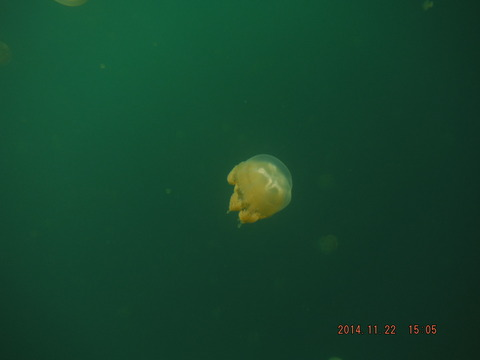 jellyfish lake7