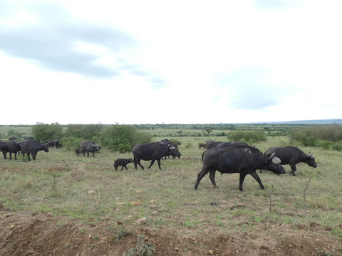 マサイマラ国立保護区 (21)