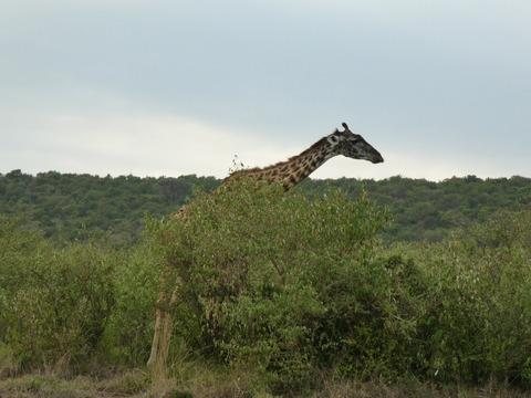 マサイマラ国立保護区 (44)