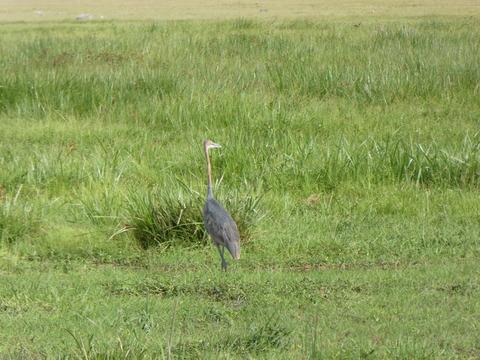 アンボセリ国立公園 (28) Golieth Heron