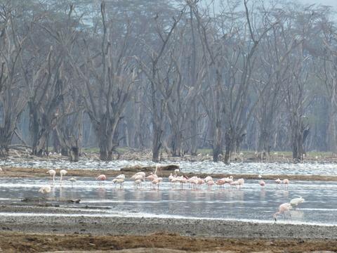 ナクル湖 (82)