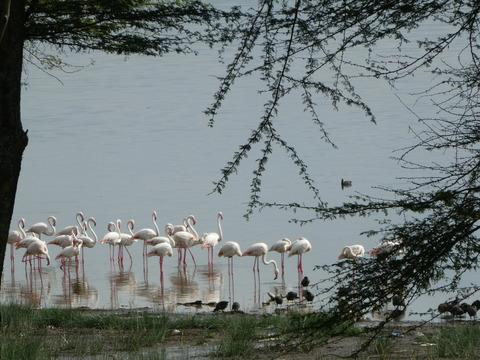 ナクル湖 (25) フラミンゴ