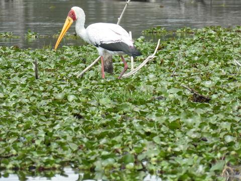 ナイバシャ湖 (75) アフリカトキコウ