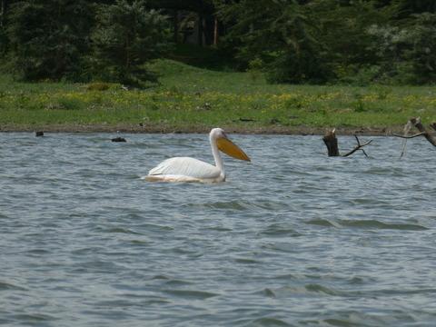 ナイバシャ湖 (104) ペリカン