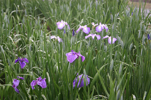 神楽女湖 お花1