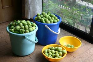 実家の梅(収穫)
