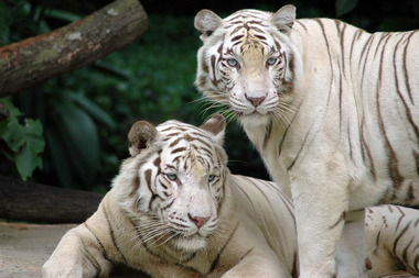 1280px-Singapore_Zoo_Tigers