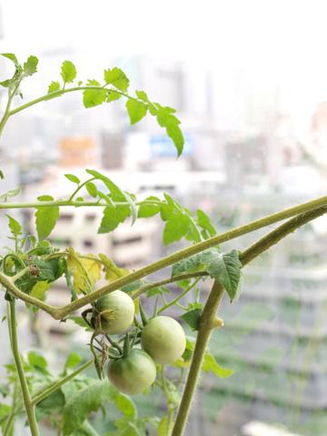 10階でトマト