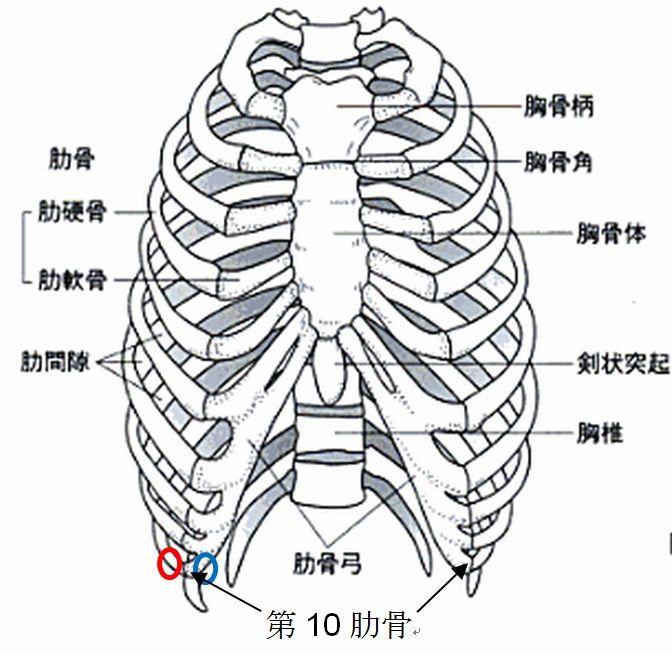 「右肋軟骨」の画像検索結果