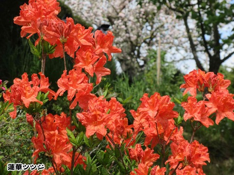 花と茶トラ 1