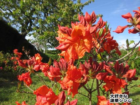 庭のお花 8