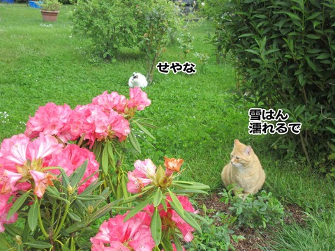 隣の茶トラさん 4
