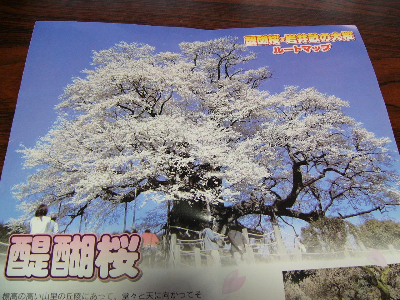 満開の醍醐桜