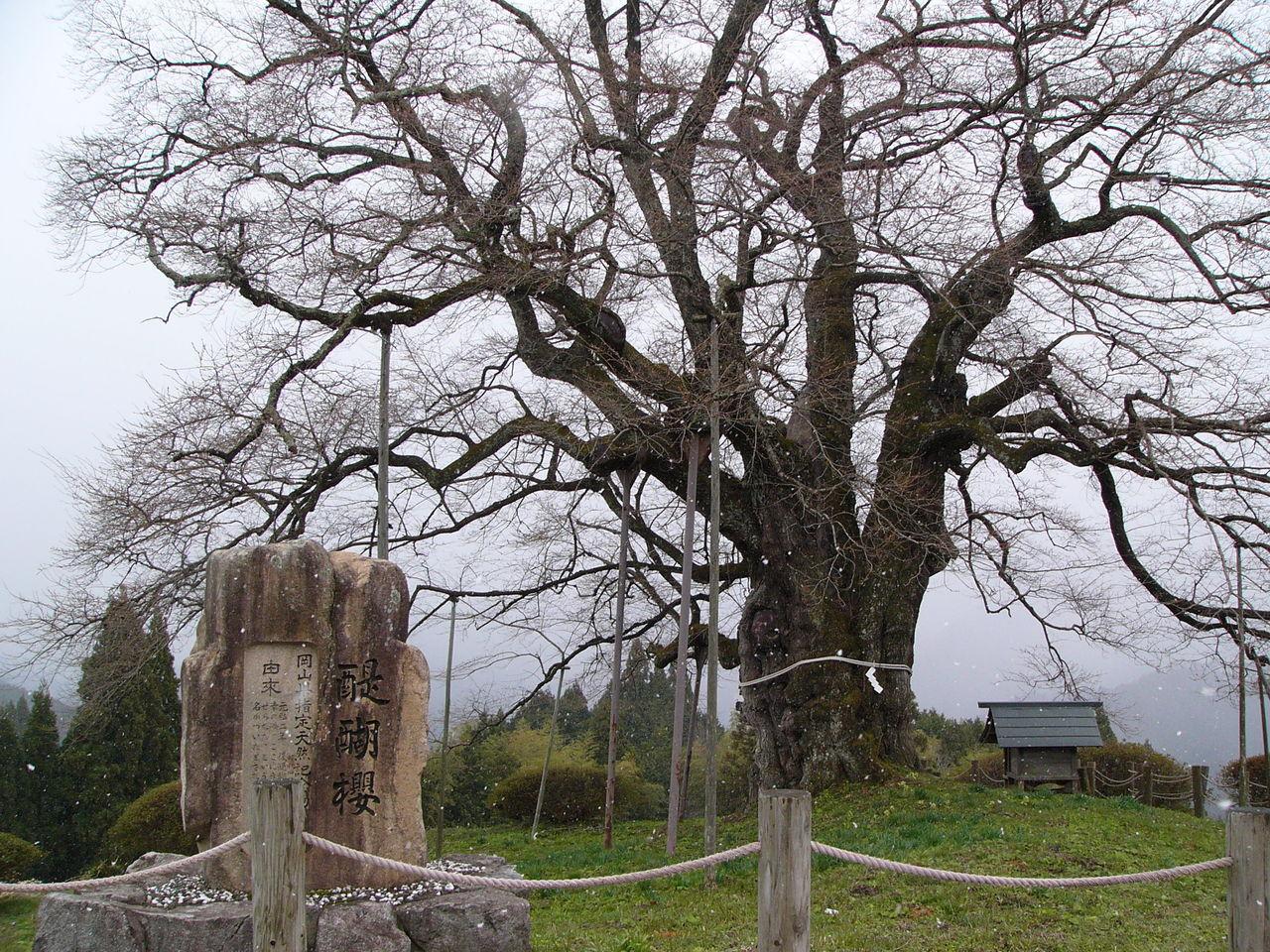 雪の醍醐桜