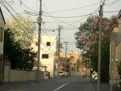 こぶしと桜