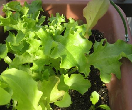 ベランダ菜園のレタス