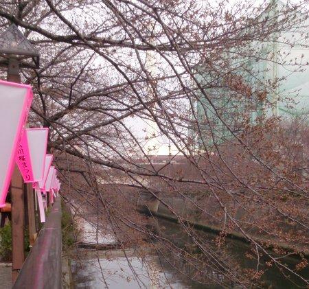 目黒川の桜がちらほらと咲き始めていました。