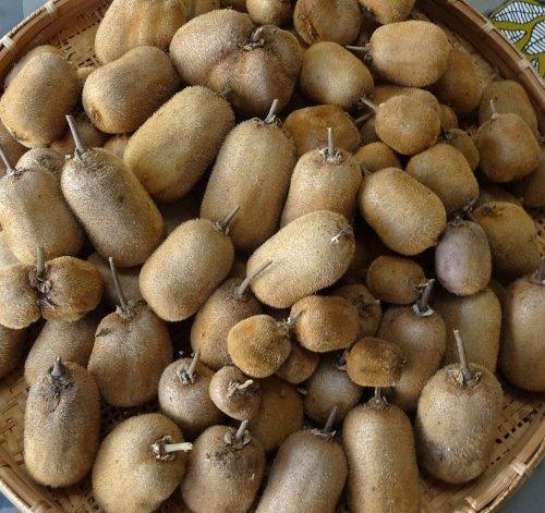 今年はキウイフルーツ スーパーエメラルドがたくさん収穫できました
