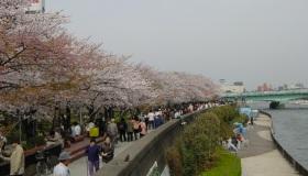 墨田川の隅田公園の桜