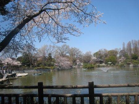 碑文谷公園の満開の桜