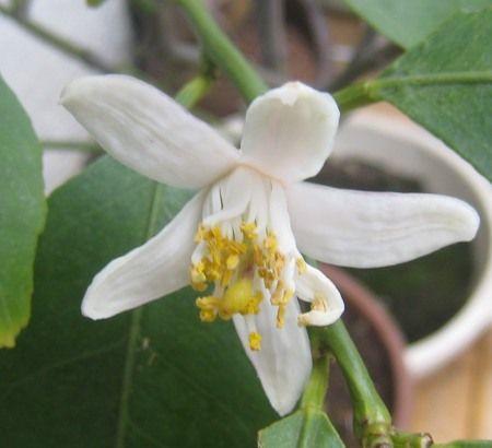 ベランダの鉢植えのレモンの木の花
