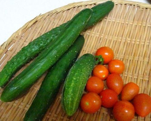 ベランダ菜園の夏野菜キュウリ、ミニトマトの収穫