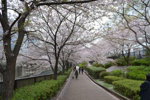 目黒川の桜、ル・